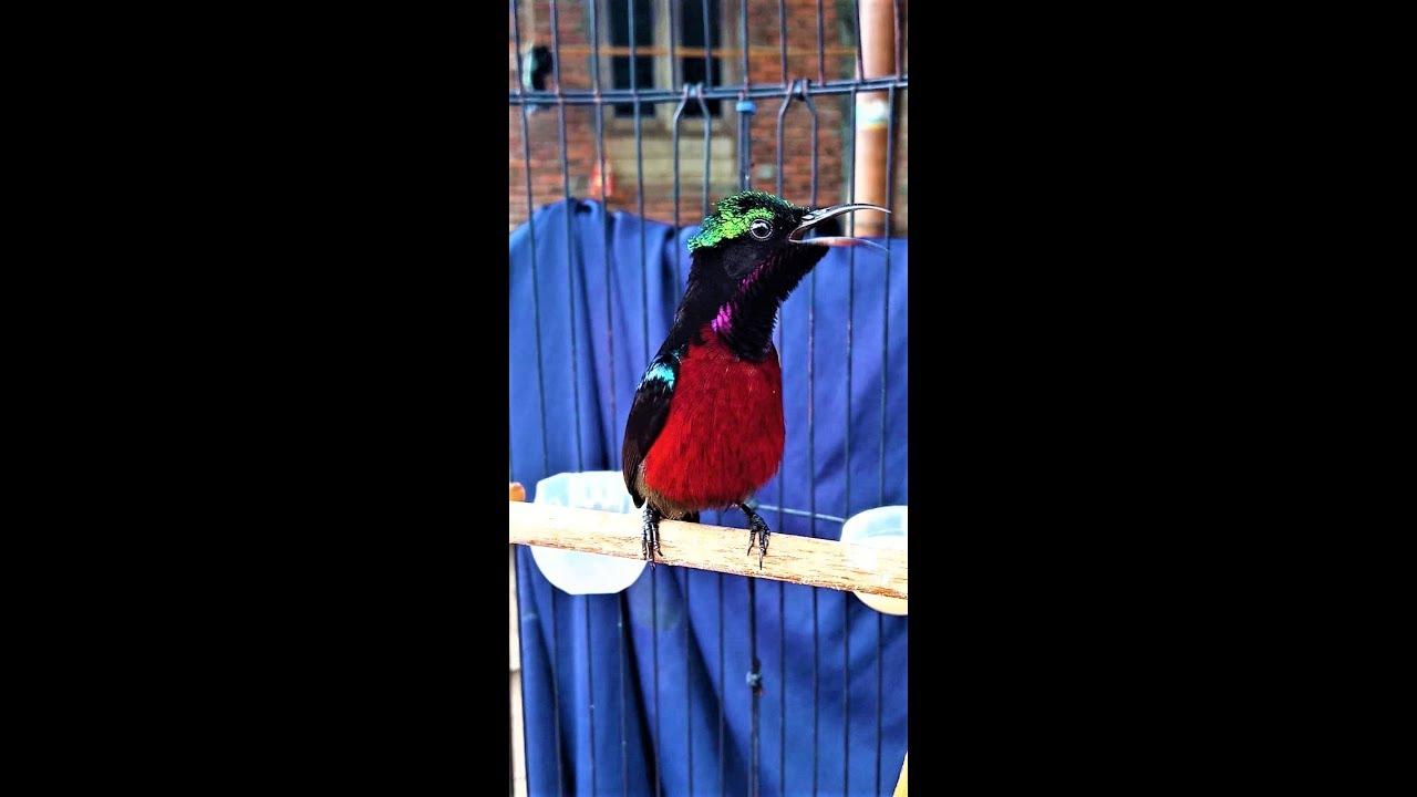 Kicau Kolibri Ninja Gacor Ngobra Ngobra Youtube