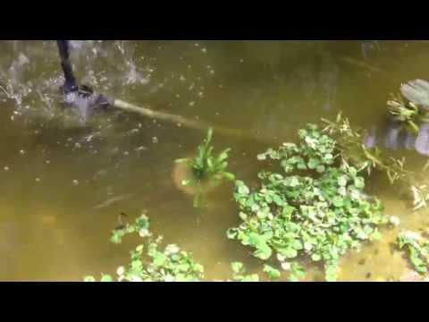 Como mantener limpia el agua de su estanque doovi for Como cultivar tilapia en estanques