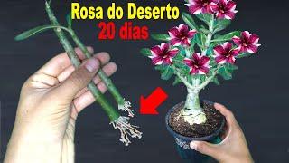 Como fazer muda da Rosa do Deserto pelo galho do jeito mais fácil que existe