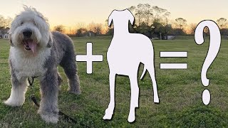 Old English Sheepdog Mixes   07 Crossbreeds You'll Absolutely Love