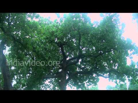 Mahua tree farm at Khajuraho