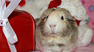 Epic Cage Clean: 9 Guinea Pigs On Fleece