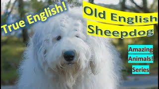 Old English Sheepdog | Amazing Animals | Pet Dogs