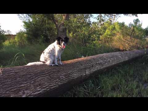 Border Collie/Aussie mix, Carter, Basic Obedience~Wilmington Dog Trainers