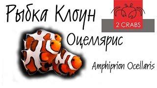 видео Амфиприон-аквариумная рыбка клоун.