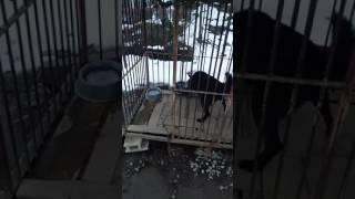 うちの甲斐犬リュウ餌ほしさに覚えた餌箱ひっくり返し遊び。餌が足りて...