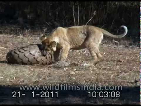 lions try to chew on an armour plated pangolin india youtube