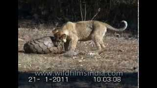 Lions try to chew on an armour-plated Pangolin - India