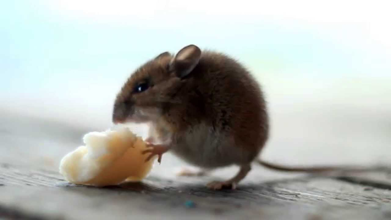 V Mouse Eating Scene Mouse eating a chunk o...