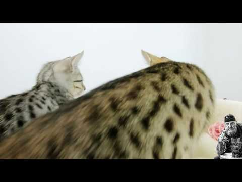 petrebels---the-rebels---maine-coon-100-cream