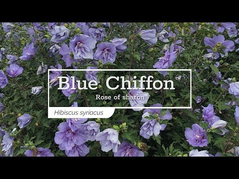 30 Seconds with Blue Chiffon™ Rose of Sharon - YouTube