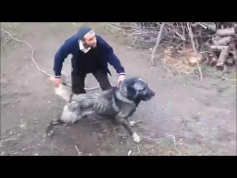 Kangal  Köpek Dövüşü   Uyarısı YENİ  Kesinlikle İzle  Destek için Kanala Abone ol
