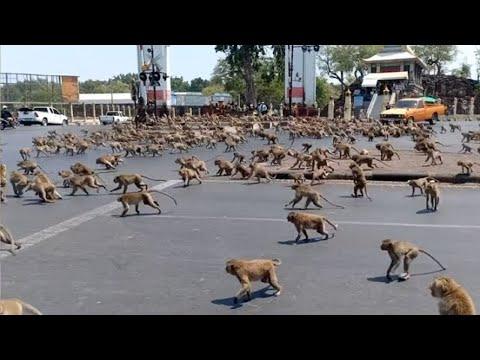 مئات القرود هجموا على مدينة في تايلاند بسبب فيروس كورونا  - نشر قبل 20 ساعة