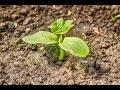Выращивание огурцов: подкормки