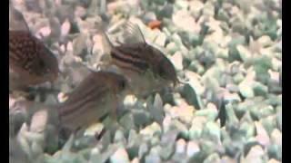 Аквариум - Аквариумные рыбки - Коридорасы(Коридорасы - мирные маленькие сомики, которые любят целыми днями копошиться около дна, выискивая остатки..., 2010-12-09T10:44:46.000Z)