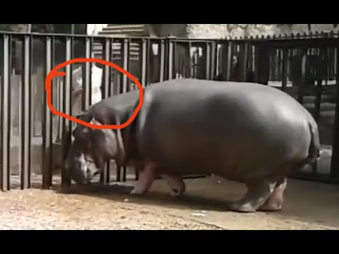 Cute Hippo Beggy Plays with his Keeper In Tbilisi Zoo