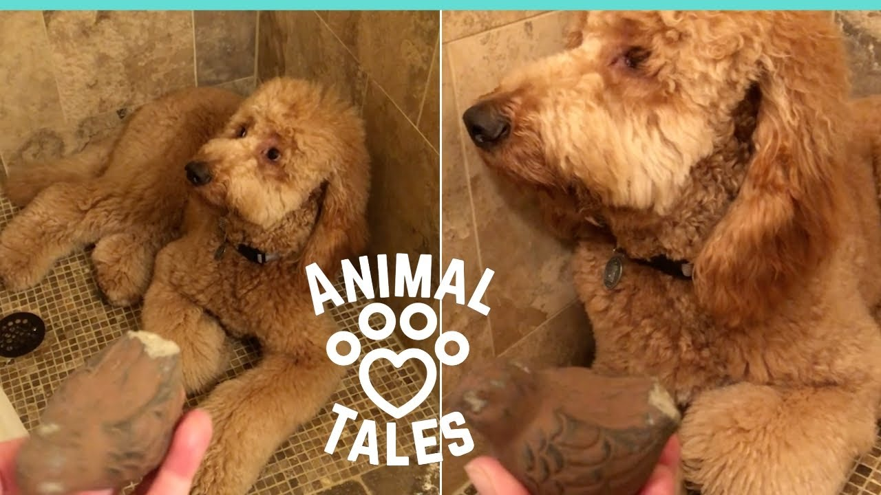 Goldendoodle Tries Really Really Hard To Hide Guilt From Owner