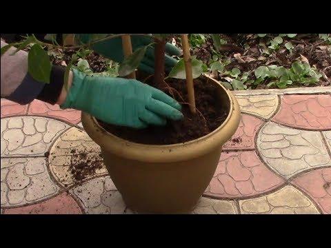 Обновлять грунт в горшках с цветами необходимо!