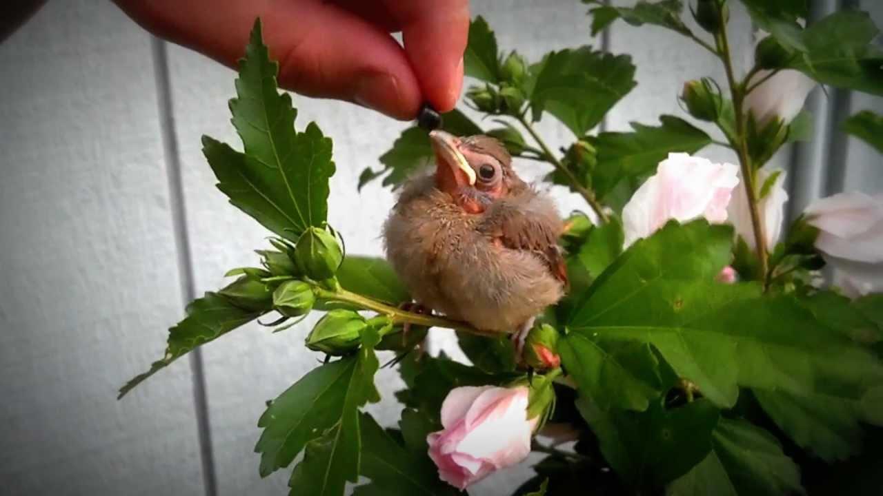 baby buuurrrdd cardinal fledgling bird eating wild blueberries