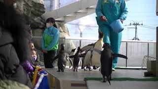仙台 うみの杜水族館 ペンギンの行進 ペンギンのお散歩