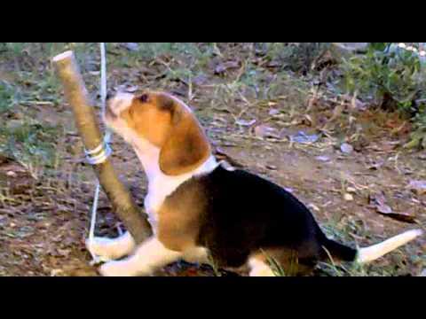 Beagle Da Caccia Cucciolo Youtube