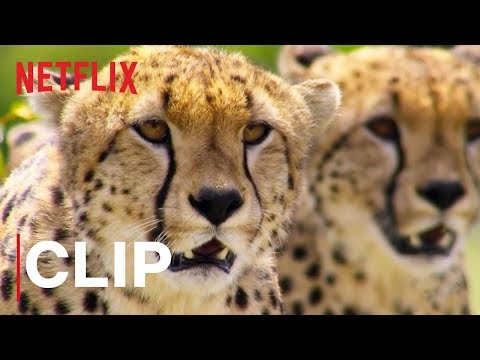 Our Planet | Cheetah Hunt | Clip | Netflix