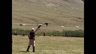 Далба охота с соколом Всемирные игры кочевников-2018 в Киргизии World nomad games