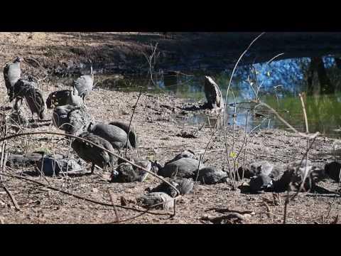 P5240271   Parelhoenders, Khama Rhino Sanctuary