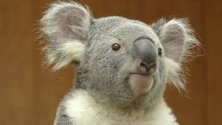 The koala is looking down from the top of the tree. 王子動物園のコ...