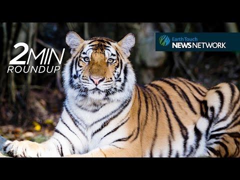 Caspian tiger comeback, primates in trouble & a colossal alligator