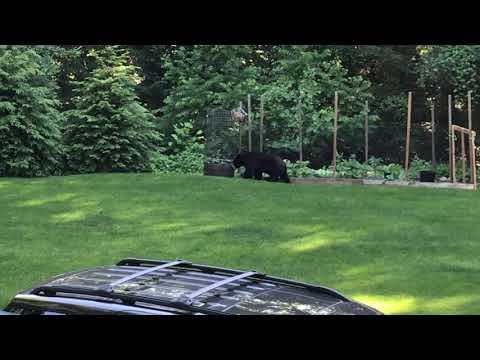 Black Bear Monroe CT