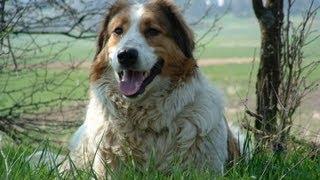 Торньяк (Tornjak) / Боснийско-герцоговинско-хорватская овчарка / Боснийский торняк