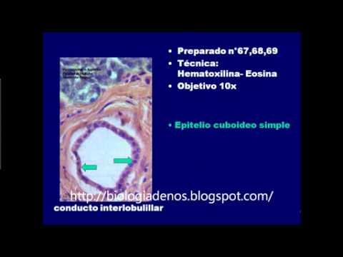 TEJIDO EPITELIAL I - YouTube