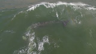 Gray Whales Celebrate 1st Day Of Spring (4K DRONE)