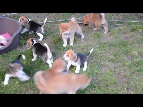 beagle & shiba puppy