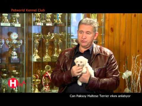 Maltese Terrier ırkının özellikleri ve bakımını Can Paksoy anlatıyor