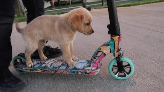 Repeat youtube video PUPPY RIDING A SCOOTER
