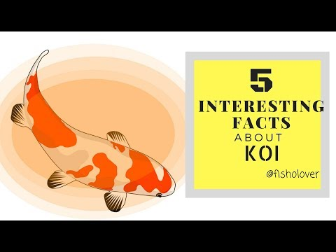 Fisholover Fact #002 - Five Interesting Facts About Koi