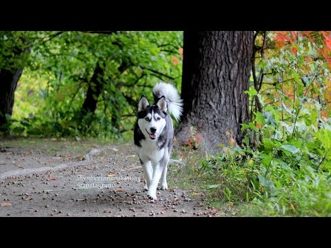 A Happy, Tired,  Off-leashed Siberian Husky Dog Is Always a Good Dog.