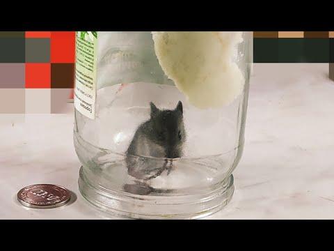 Как поймать полевую мышь в доме