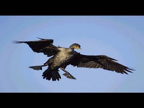 Funny Bird Crashing – Animal Fails