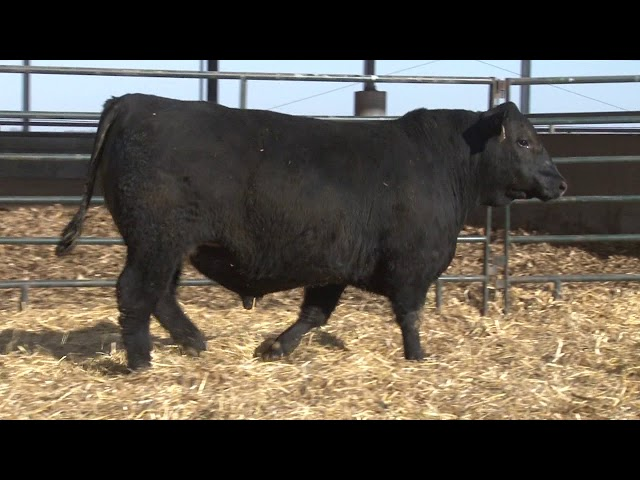 Schiefelbein Angus Farms Lot 125