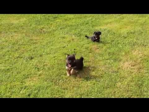 Irish Black and Tan Jack Russell Puppies for Sale