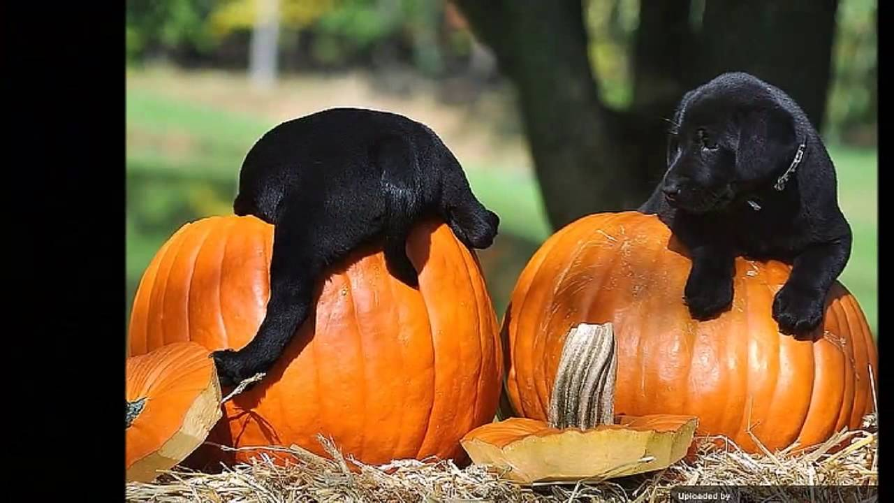 Puppies And Pumpkins Youtube