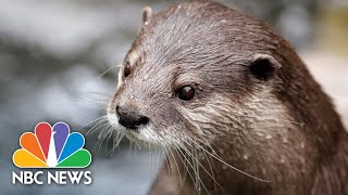 Georgia Aquarium Otters Play Off Exhibit While Being Treated For Covid-19 | NBC News