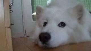 大型犬サモエドの動画。