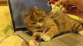 Mèo tai cụp mà nghịch như quỷ và lì như trâu... Trời ơi - Mật Pęt Family