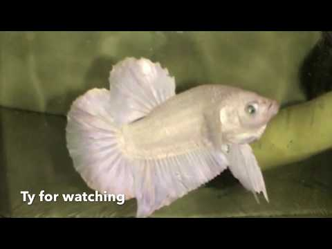 Betta Fish Breeding Step by Step | From egg to 4 Days Old