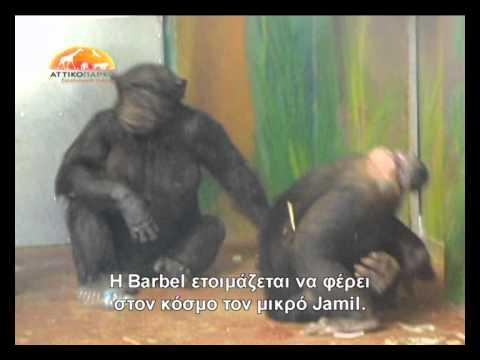 לידת שימפנזה בציום בגן חיות