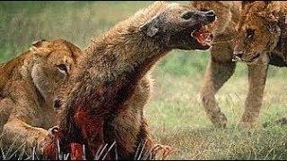 Craziest animal attacks - Lions, leopard, huenas, python - Animal fights